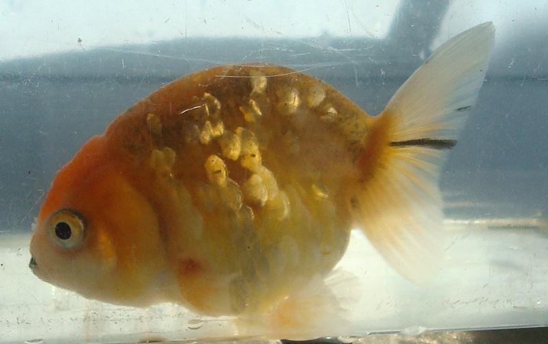 フン柄金魚 横見