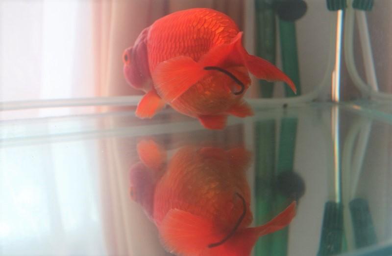 金魚 後ろ姿