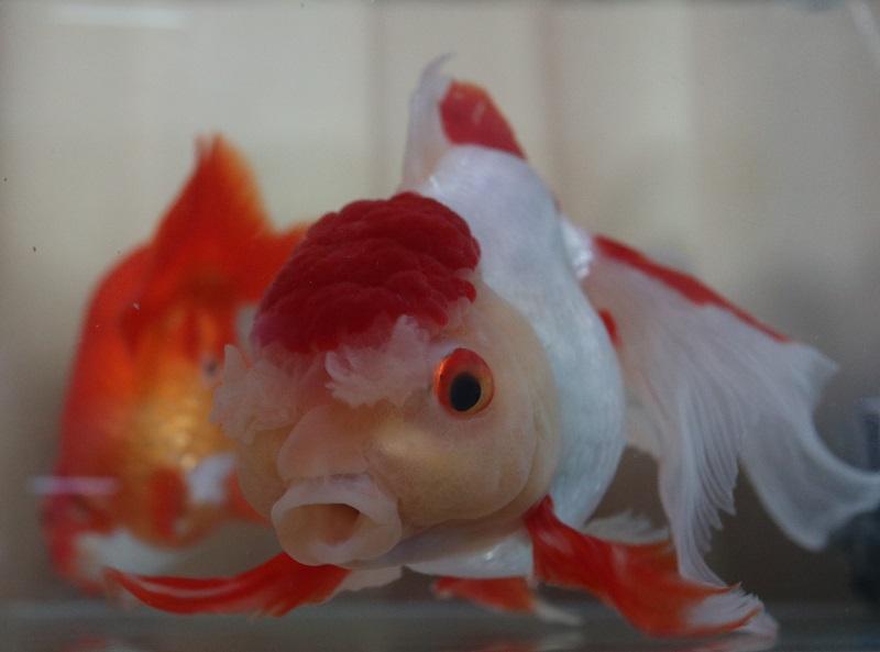 鼻が高い金魚