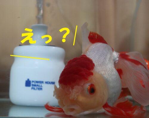 金魚の返事
