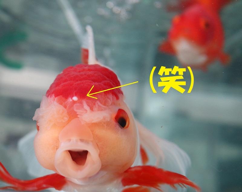 ニキビの金魚