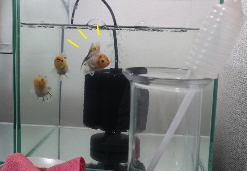金魚とスポイト