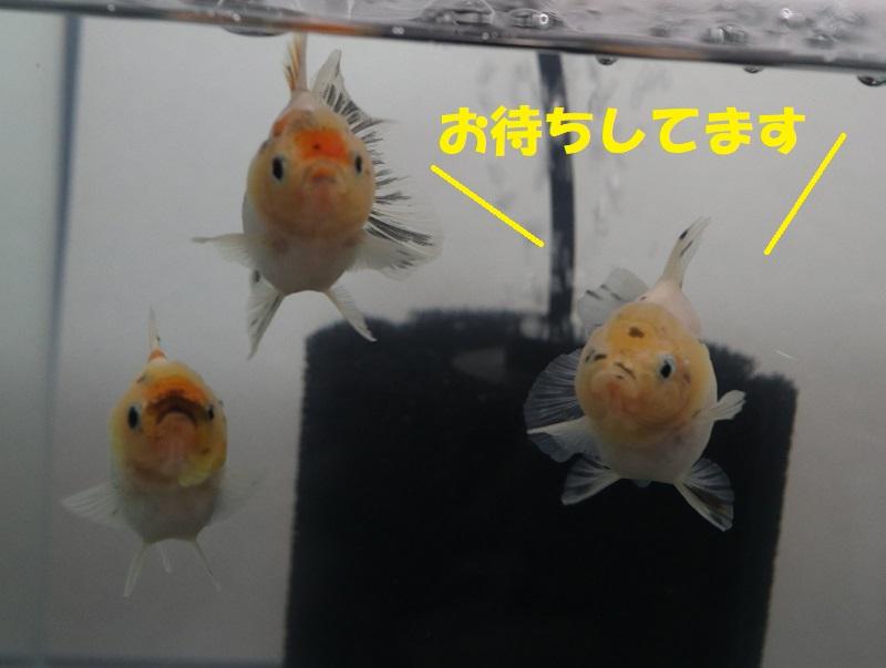 待ってる金魚