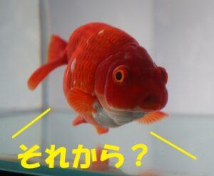 それから金魚
