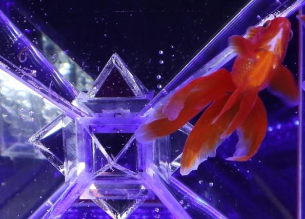 金魚の下見
