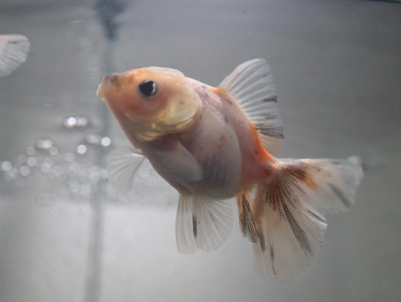 金魚のちぢみちゃん