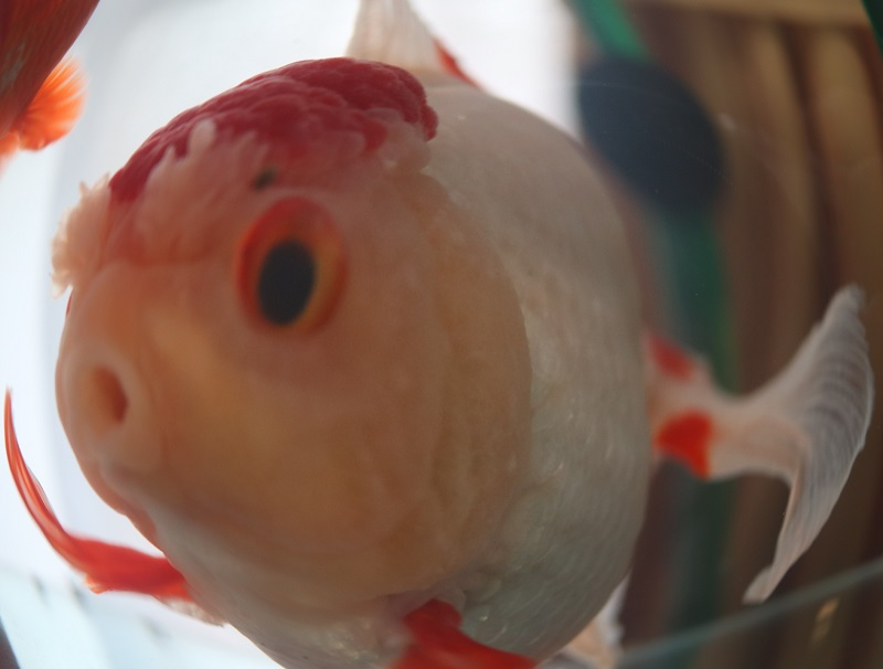 魚眼レンズ オランダ獅子頭