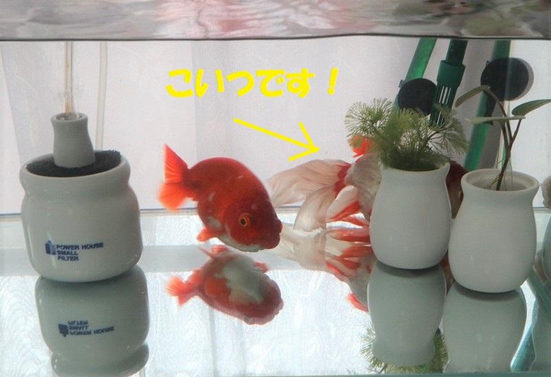挟まる金魚