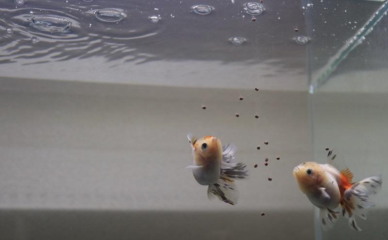 金魚の餌やり