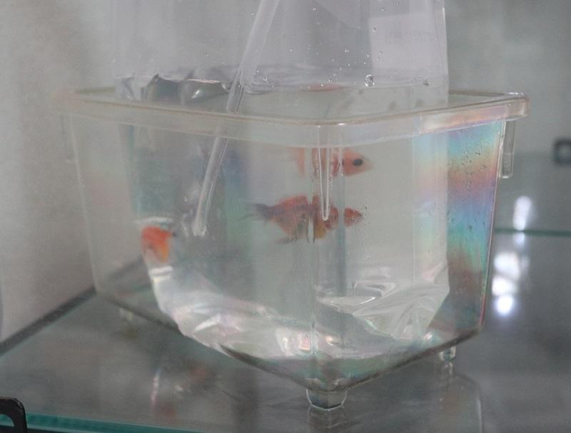 新しい金魚