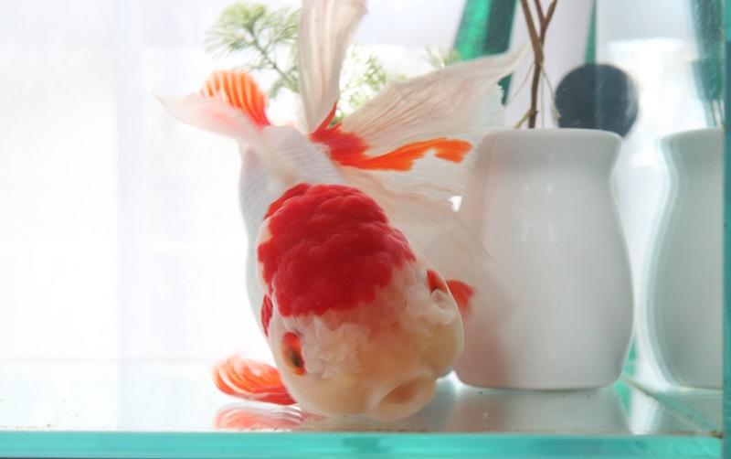着地 金魚