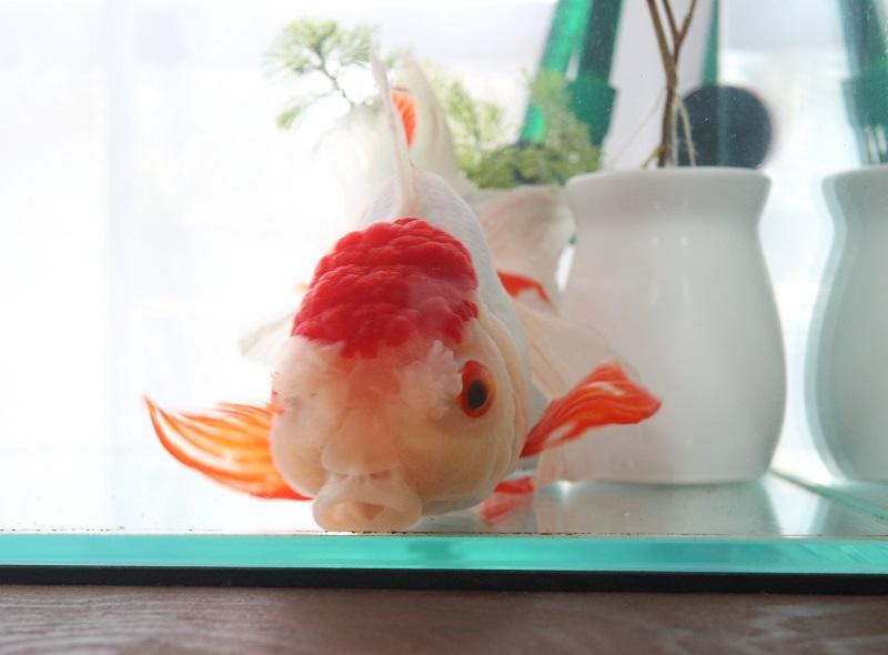 成功 金魚「