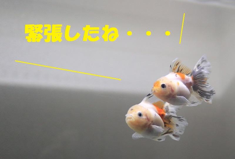 緊張した金魚
