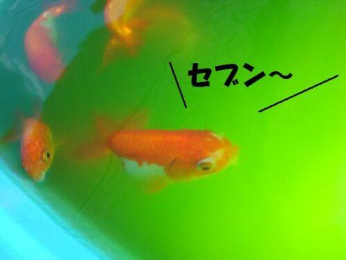 金魚のウルトラセブン