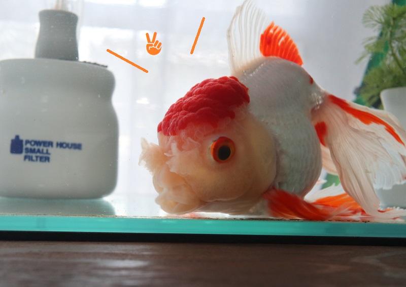 自慢気 金魚