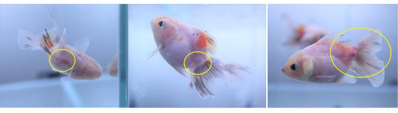 不調な金魚