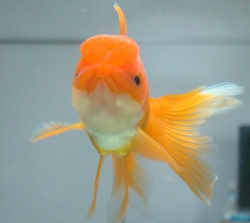 リーゼントの金魚