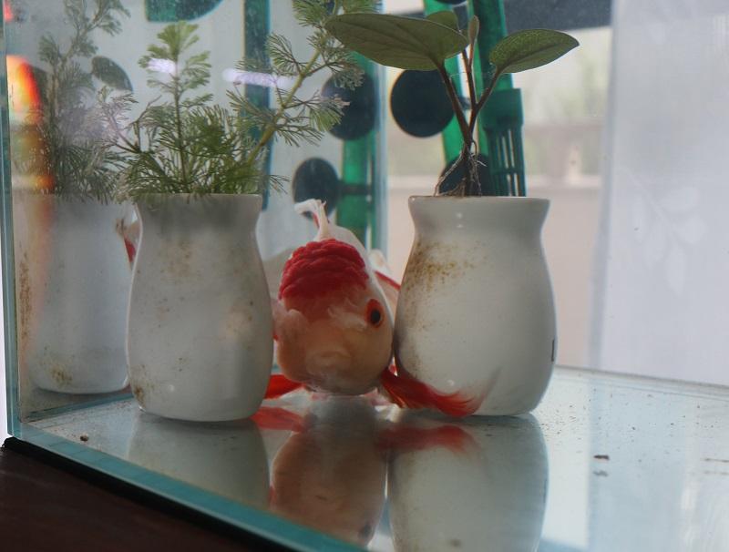 壺をすり抜ける金魚