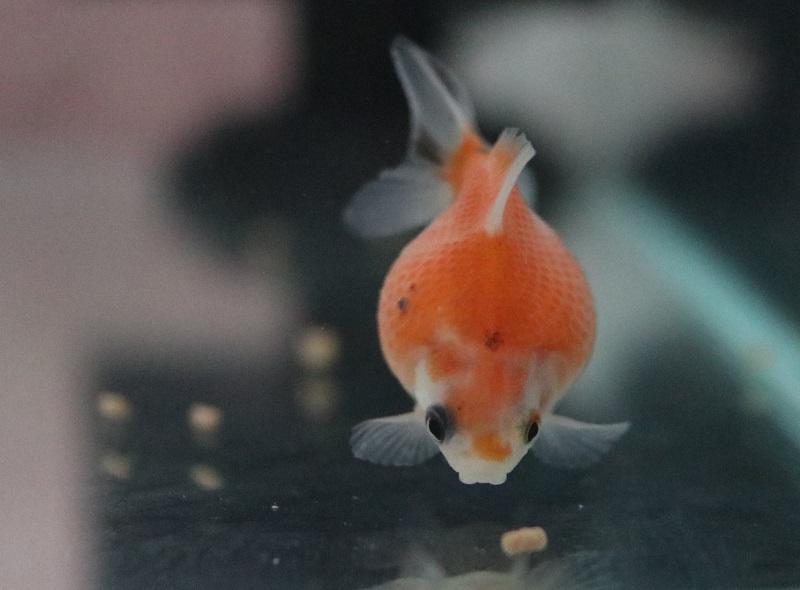 餌を食べる金魚