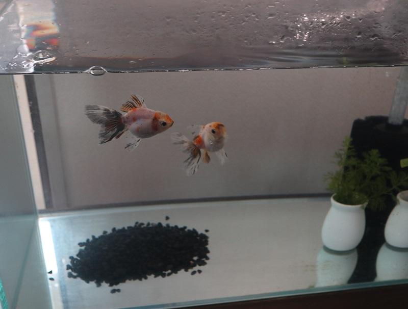 金魚に黒い石
