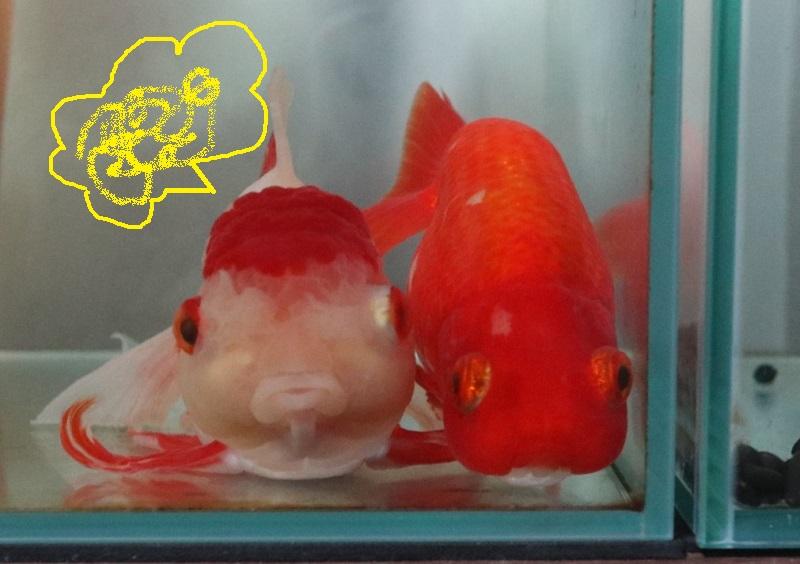 機嫌が悪い金魚