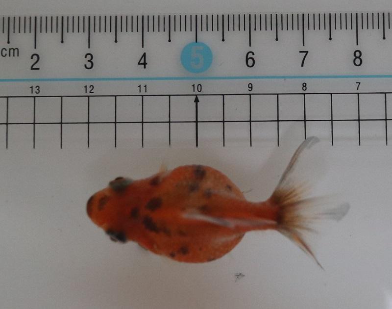 金魚の身体測定
