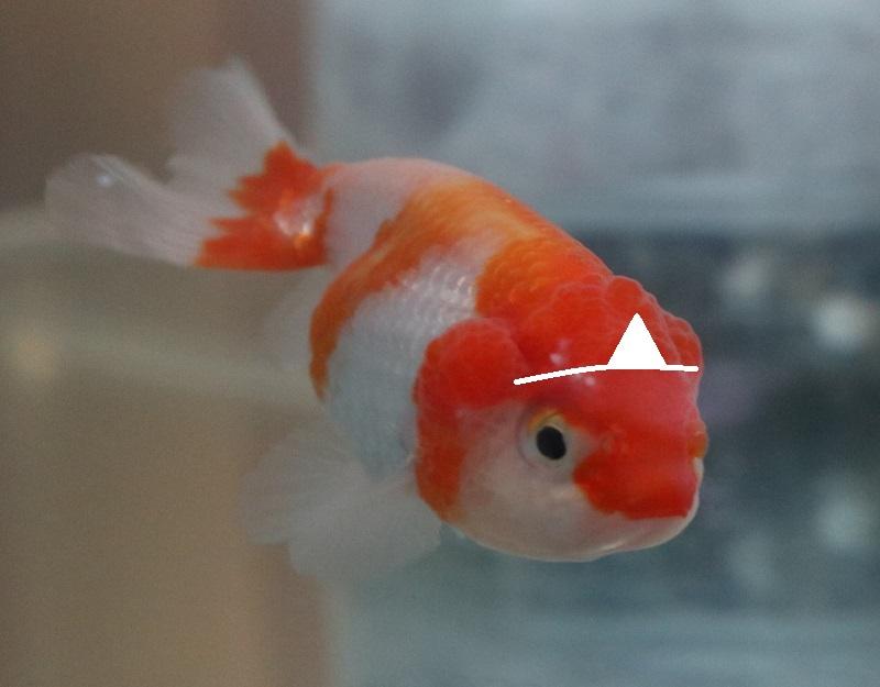 金魚の初盆
