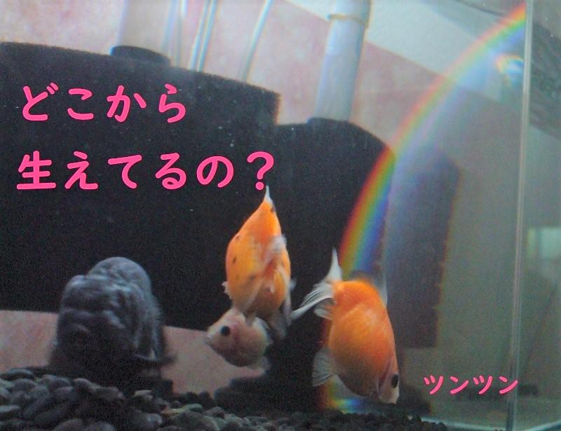 水槽の虹は何処から生えてるの