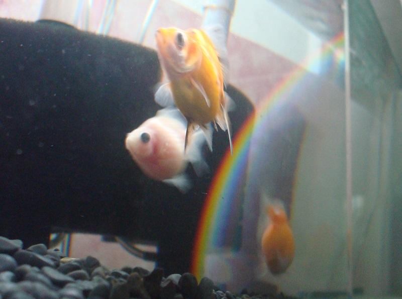 水槽の虹と金魚
