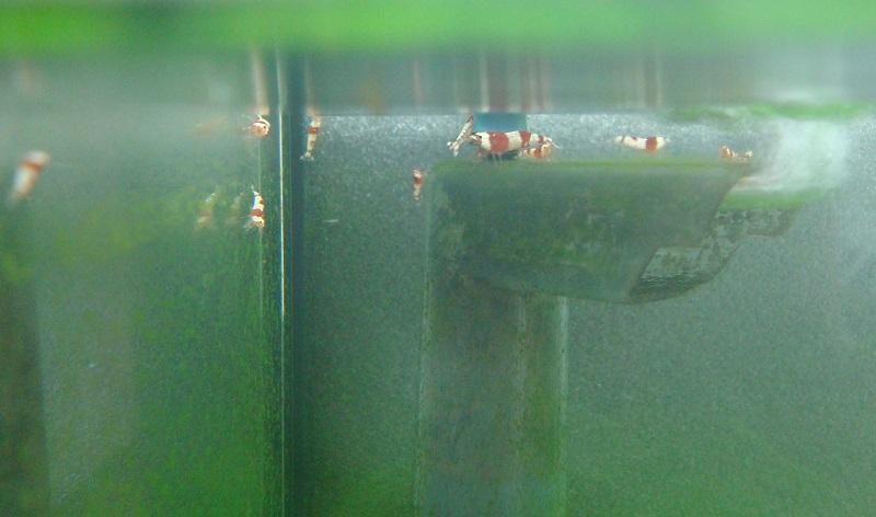 苔を食べるレッドビーシュリンプ