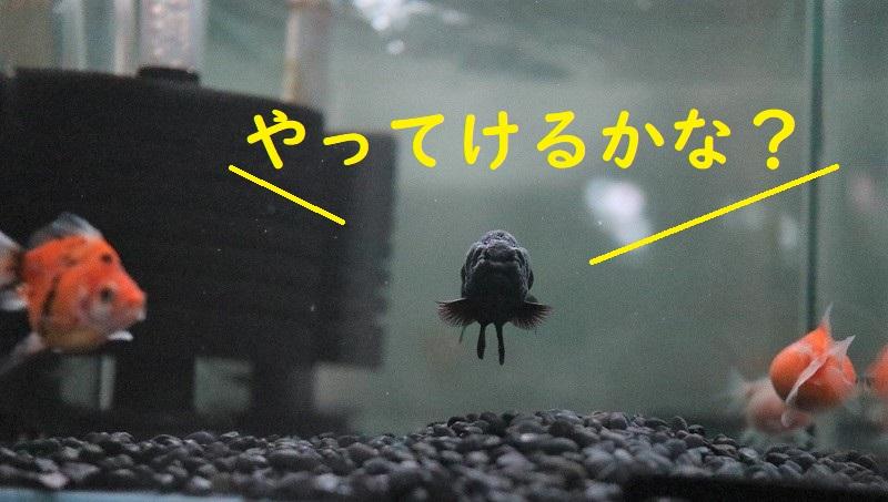 黒らんちゅうとピンポンパール